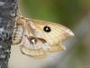 tauvlinder in Passavant