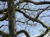 zoekplaatje: withalsvliegenvanger hoog in de kruin