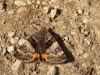 oranje espenspanner