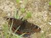 net buiten de Argonne: grote ijsvogelvlinder