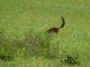 er was weer geen staart te zien ... jonge vos op zoek naar eten