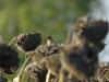 één van de honderden vinken in een veld zonnebloemen