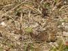 oranje steppevlinder