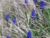 blauwe druifjes in de wegberm
