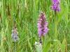 harlekijn en brede orchis
