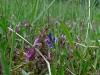 Heidekartelblad en vleugeltjesbloem