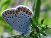 kroonkruidblauwtje