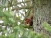 eekhoorn met nestmateriaal