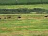 zwarte wouwen op gemaaid gras