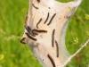 spinsel wolspinner (Passavant)
