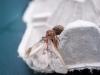 dat is niet de bedoeling: spin verorbert meriansborstel in de vlinderval