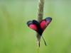 bizarre houding van een zonnende vijfvlek-sint-jansvlinder