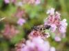 geelbuikwespvlinder
