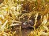 jonge grauwe kiekendief bij nestbescherming