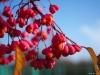 het lijken wel de snoepjes van de houtkant: kardinaalsmuts