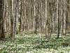 Bosanemoon, Forêt de Lisle