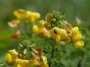 geel stalkruid