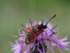 oogvlek-sintjansvlinder