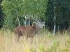 bronst edelhert in forêt d'Argonne, lucky shot...