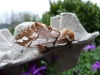 gevlamde vlinder, Passavant, 27-03-2011