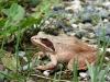 Springkikker, Passavant, 01-06-2008