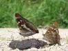 Grote en Kleine weerschijnvlinder