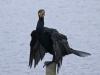 waarom vogelverschrikkers niet helpen tegen aalscholvers....