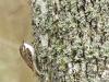kortsnavelboomkruiper