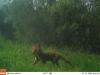 dit jaar zeer weinig vossen te zien!?