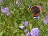 Blauwe knoop, belangrijke nectarplant in het najaar