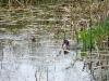 dodaars met kikker voor jong, foto Rik Desmet